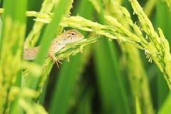 Estar em plantas de arroz Imagem de Stock Royalty Free