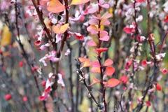 Estas folhas vermelhas e amarelas de um arbusto com berrie pequeno vermelho fotos de stock