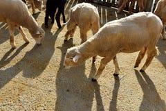 Estas ovejas tienen paños gruesos y suaves gruesos finos Fotos de archivo