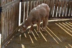 Estas ovejas tienen paños gruesos y suaves gruesos finos Foto de archivo