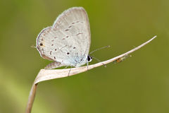 Estate Azure Butterfly Fotografie Stock