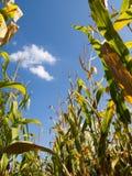 estate del campo dell'estremità del cereale Immagine Stock Libera da Diritti