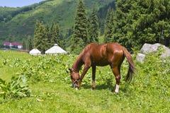 Estate del paesaggio del cavallo dell'abete rosso di Yurt Fotografia Stock