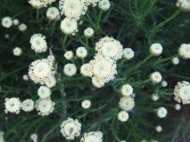 Estate del prato del fiore Fotografia Stock Libera da Diritti