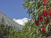 Estate delle bacche in alte montagne Immagine Stock