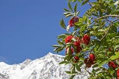 Estate delle bacche in alte montagne Fotografie Stock