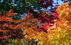 Estate di San Martino, foglie di autunno variopinte Immagini Stock Libere da Diritti
