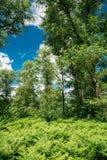 Estate Forest Ferns Leaves Green Foliage di Beautyful fotografia stock