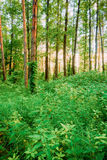 Estate Forest Trees deciduo Fuoco sulle ortiche in priorità alta Fotografia Stock Libera da Diritti