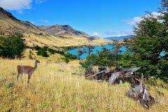 Parco nazionale a Torres del Payn - guanaci selvaggi Immagini Stock Libere da Diritti