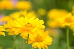 Estate gialla fotografie stock libere da diritti