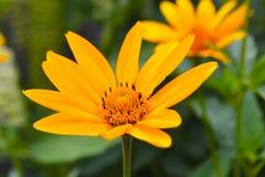 Estate gialla 2018 della natura dei fiori fotografie stock libere da diritti