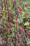 Estate indiana Bacche della rosa canina Bacche rosse Fotografie Stock