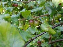 Estate Le uva spina fresche ed acide presto saranno là fotografie stock