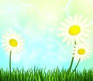 Estate Margherite nell'erba verde Immagini Stock
