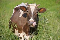 Estate. Mucca macchiata nel prato nell'erba fotografia stock libera da diritti