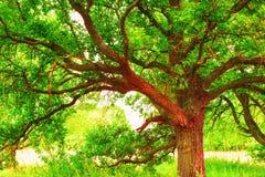 Estate nella foresta soleggiata della quercia fotografia stock
