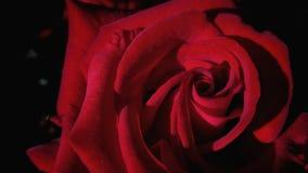 Estate Rosa Fotografia Stock Libera da Diritti
