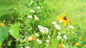 Estate scenica con la farfalla sul fiore del laciniata di rudbeckia e dei camomiles selvaggi archivi video