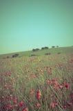 Estate selvaggia Poppy Field - incrocio elaborato fotografia stock libera da diritti