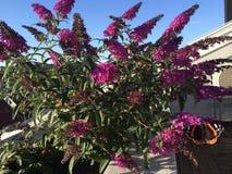 Estate splendida di rosa della farfalla di Bush di farfalla Fotografia Stock Libera da Diritti