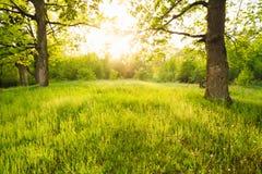 Estate Sunny Forest Trees Fotografia Stock