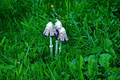 Estate Svassi tossici dei funghi su erba verde Immagini Stock
