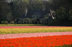 An estate in tulips' fields Stock Photos