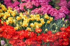 Estate variopinta della fioritura dei tulipani Fotografie Stock