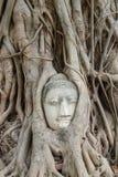 Estatua de Buda en las raíces del árbol en, Ayutthaya, Tailandia Imagenes de archivo