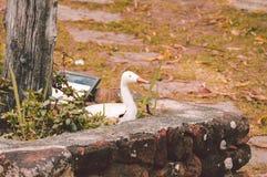 Estatua del pato Fotografía de archivo