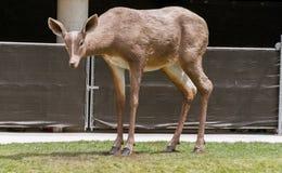 Estatua grande de los ciervos en una calle de la ciudad foto de archivo