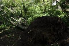 Este árbol fue golpeado abajo por una tormenta La enorme fuerza ha traído las raíces del árbol para arriba de la tierra Fotografía de archivo libre de regalías