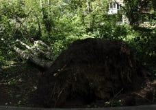 Este árbol fue golpeado abajo por una tormenta La enorme fuerza ha traído las raíces del árbol para arriba de la tierra Fotos de archivo