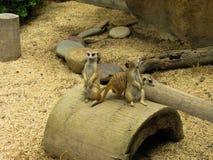 Este é animal pequeno seu nome é suricato fotos de stock royalty free
