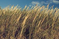 Este é um junco na duna Foto de Stock