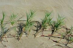 Este é virginicus do Sporobolus, o sofá da água salgada, Poaceae da família Imagens de Stock