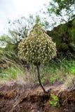 Este Aeonium grande é endêmico nas Ilhas Canárias imagens de stock royalty free