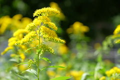 Este arbusto intrépido se cubre con brillante, de oro-amarillo Imagenes de archivo