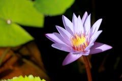 Este bonito waterlily ou a flor de lótus roxa são felicitados pelas cores do drak da superfície profunda da água azul cor saturad Imagens de Stock