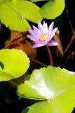 Este bonito waterlily ou a flor de lótus roxa são felicitados pelas cores do drak da superfície profunda da água azul cor saturad Fotografia de Stock Royalty Free