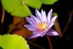 Este bonito waterlily ou a flor de lótus roxa são felicitados pelas cores do drak da superfície profunda da água azul cor saturad Fotos de Stock Royalty Free