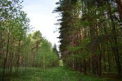 Este bosque es reservado y majestuoso, se coloca solamente entre los bosques y el bosque de abedul ligero dispersados fotografía de archivo