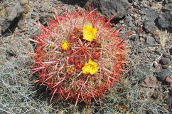 Cactus de barril con las flores amarillas cerca del soporte negro Foto de archivo libre de regalías