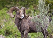 Espolón del trofeo de las ovejas del Big Horn Imagenes de archivo