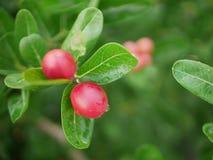 Este fruto é carandas Linn do Carissa fotografia de stock