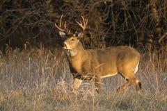 Este grande fanfarrão do Whitetail de Kansas estava procurando pelo ` s da gama ao longo de uma linha de árvore no outono atrasad foto de stock