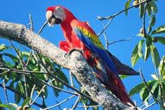 Este Macaw está gozando de su almendra fotografía de archivo