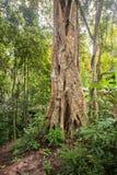 Este moraceae gigantesco fotografia de stock