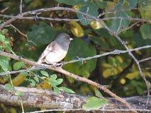 Este pássaro pequeno, um Oregon enegrecer-eyed o junco, varas em uma cerca do arame farpado imagem de stock royalty free